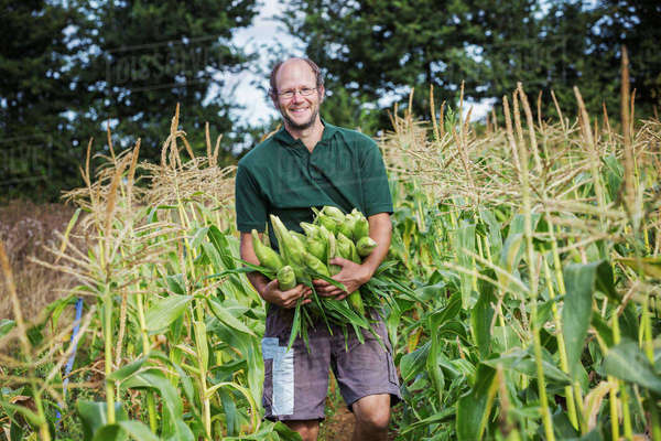 A man harvesting ripe sweet corn cobs, with arms full of cobs.  Royalty-free stock photo
