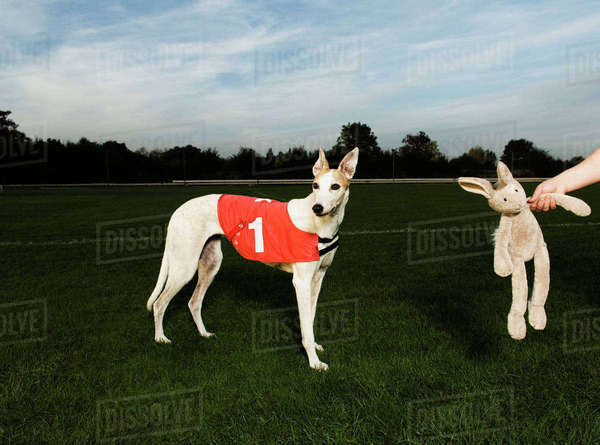 White greyhound wearing red bib with number one, standing on racetrack, a toy rabbit dangling from a human hand. Royalty-free stock photo