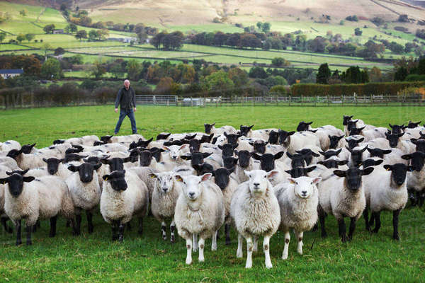 Sheep farmer standing on a meadow watching over a large flock of sheep, hills in the distance. Royalty-free stock photo
