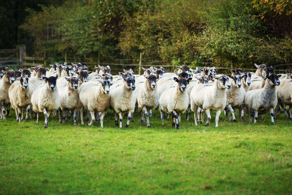 Large flock of sheep on a meadow. Royalty-free stock photo