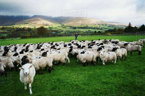 Large flock of sheep on a meadow, hills in the distance. Royalty-free stock photo