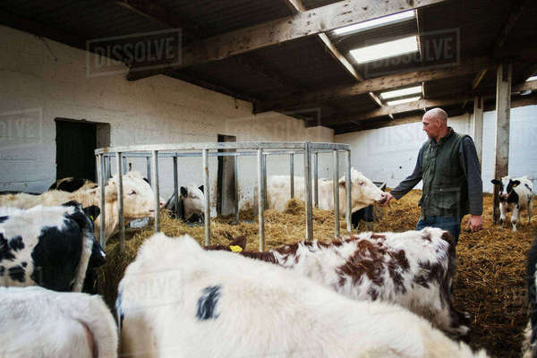 Farmer and herd of cows in a cowshed. Royalty-free stock photo