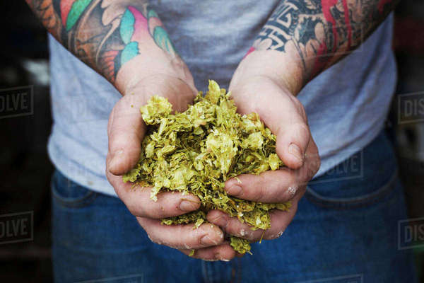 Close-up of person standing in a brewery, holding some hops, tattooed arms. Royalty-free stock photo