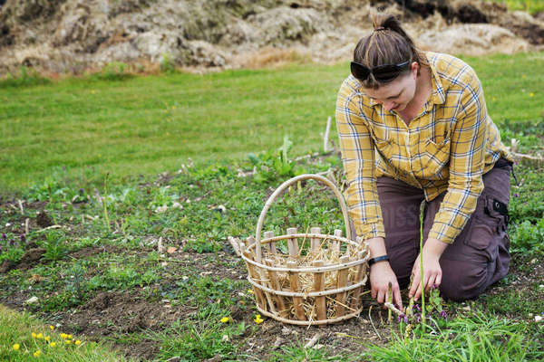 Woman kneeling in a garden, harvesting spears of green asparagus with a knife, a basket beside her. Royalty-free stock photo