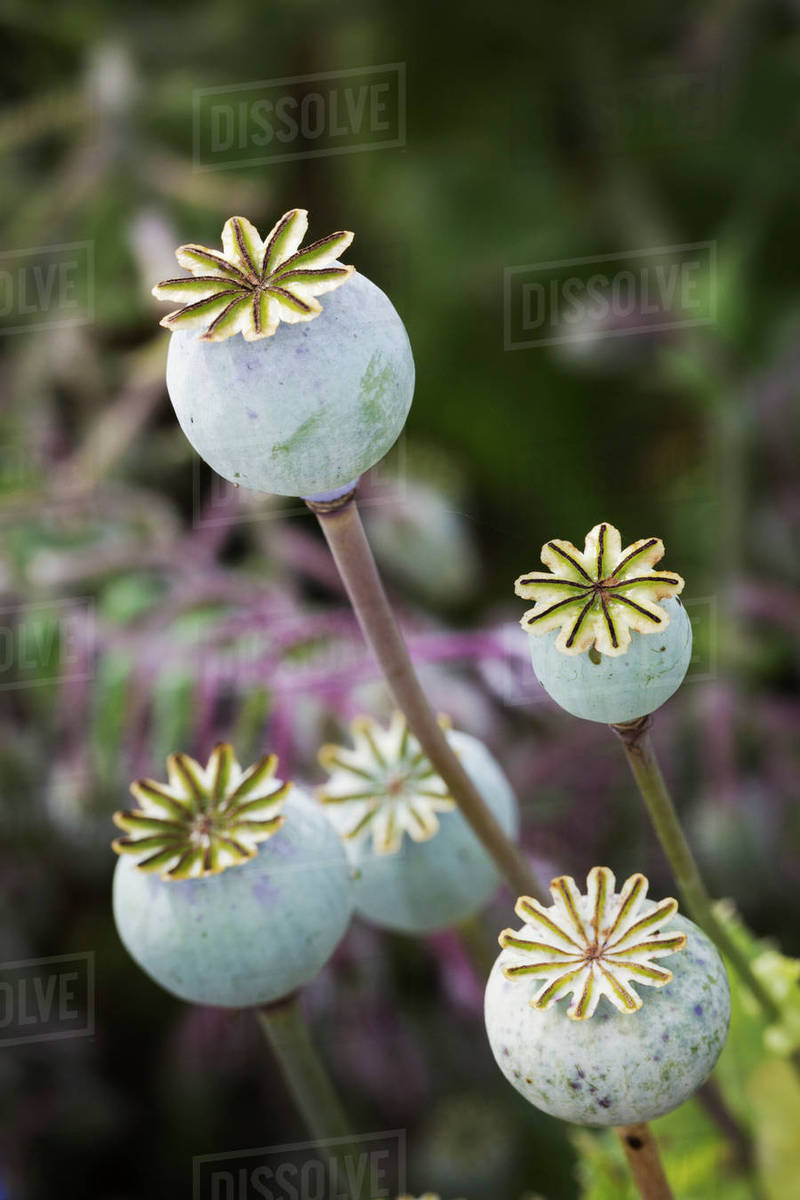 Close Up Of Poppy Seed Pods In A Garden Stock Photo Dissolve