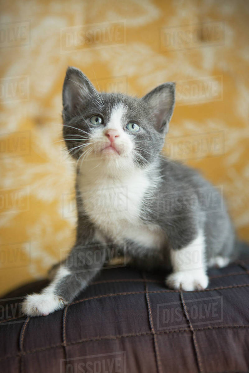 A grey and white kitten looking upwards. - Stock Photo - Dissolve