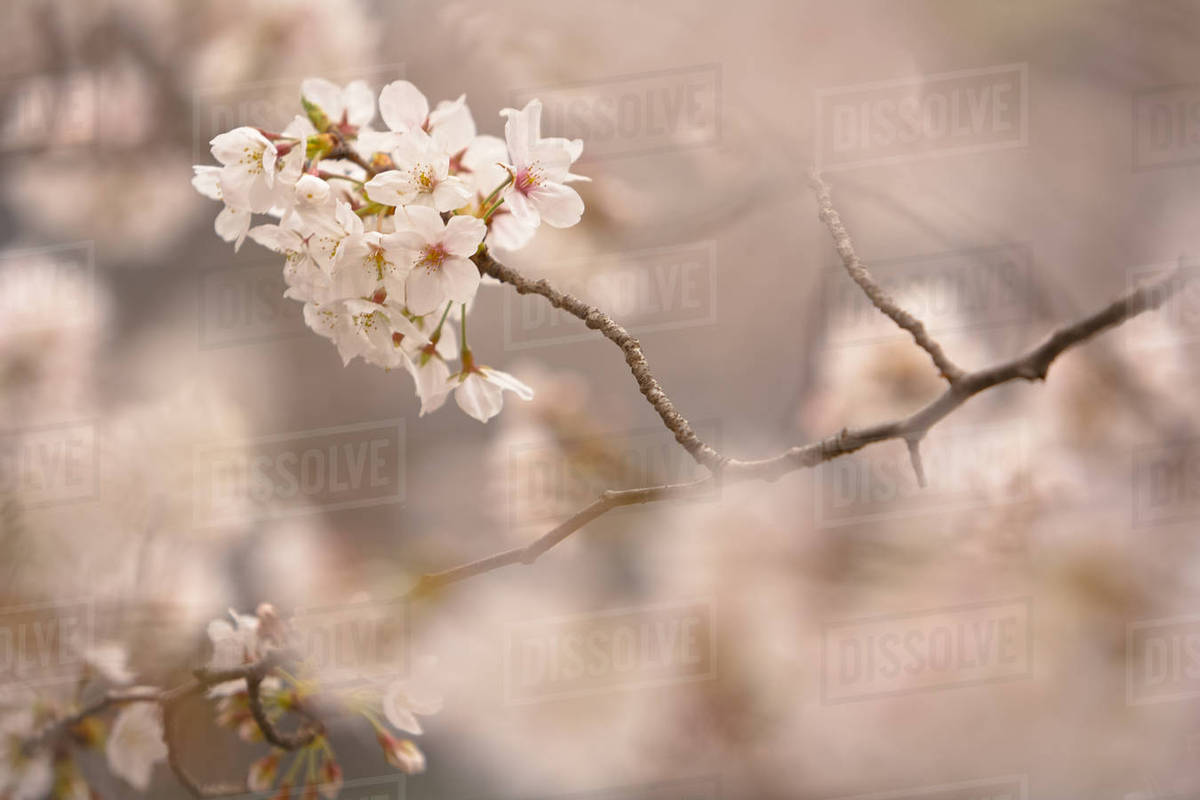Close Up Of Branch Of White Japanese Cherry Blossoms Stock Photo