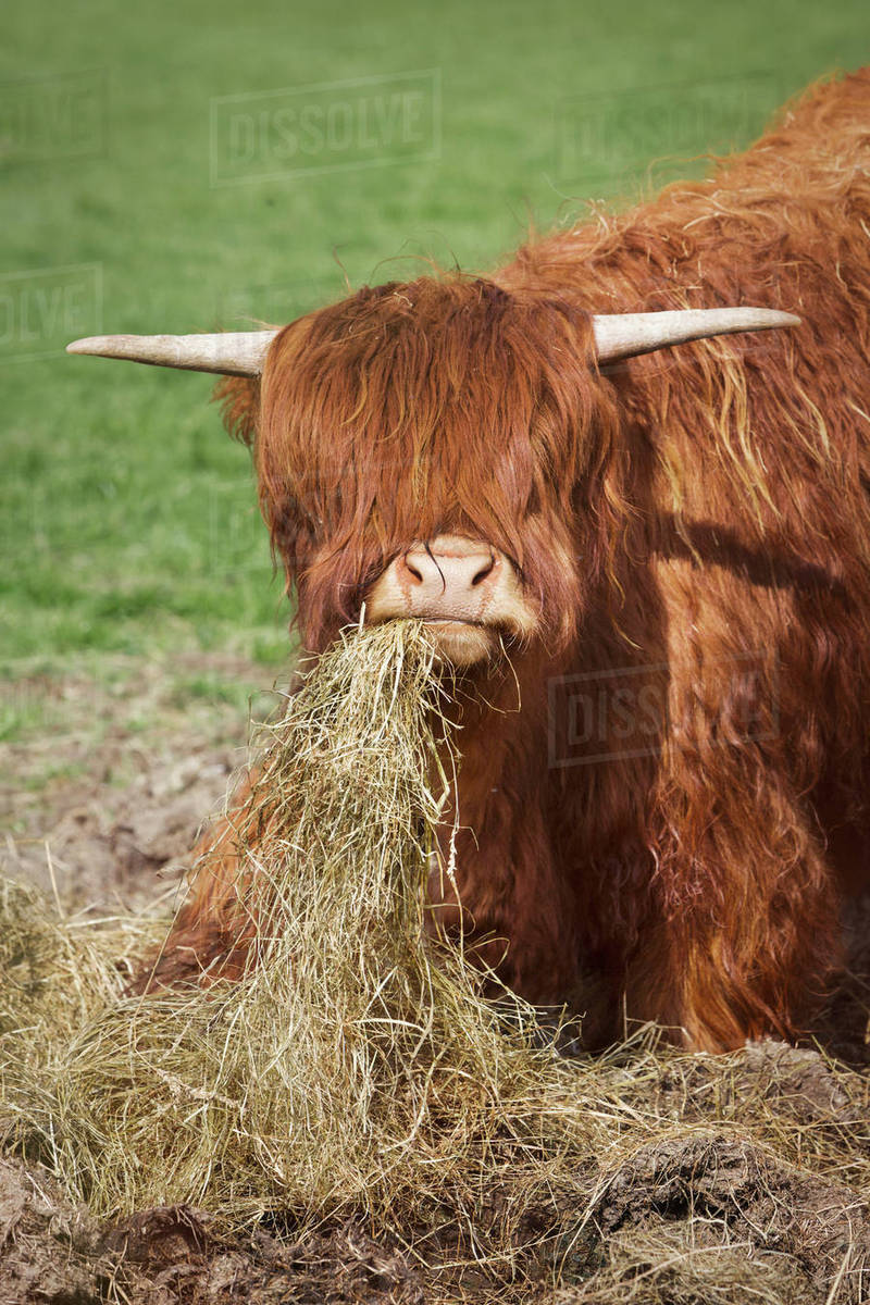 Brown Scottish Highland Cattle With Long Wavy Coat Feeding On D102493108