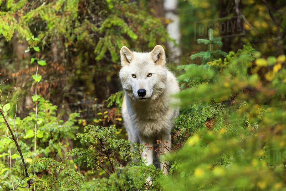 Front view of Grey Wolf standing in a forest, looking at ...