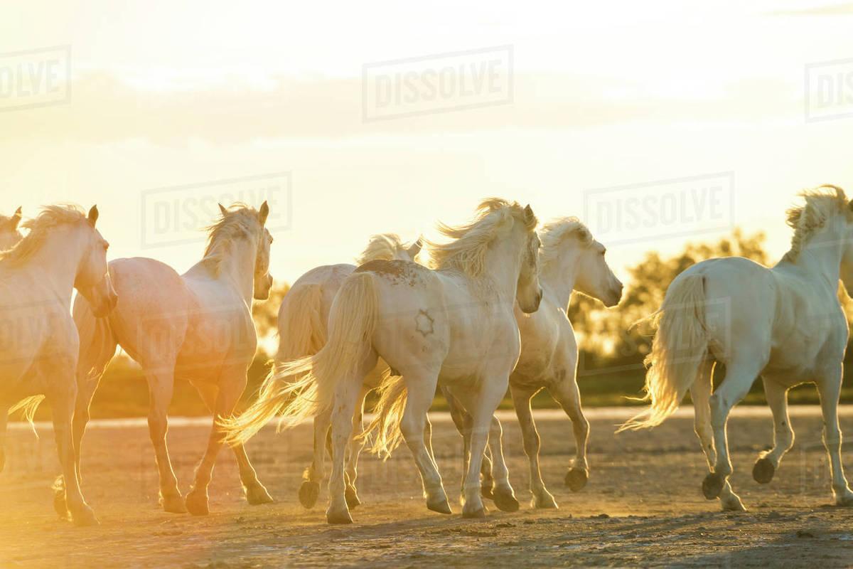 Medium Group Of White Horses Running Across Land At Sunset Stock