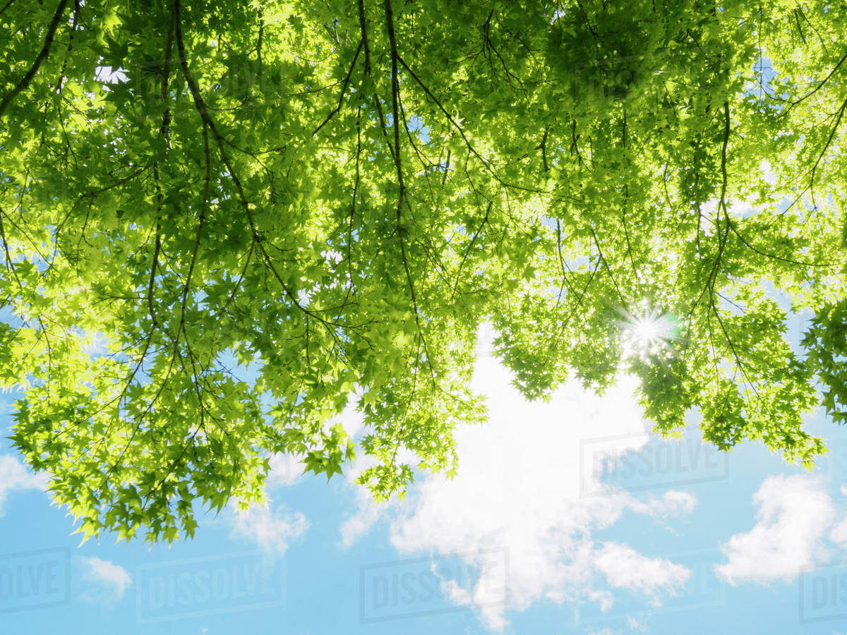 Trees With Green Leaves In Sunlight Stock Photo Dissolve