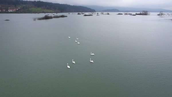 Aerial - A small flock of swans swimming on a lake Royalty-free stock video