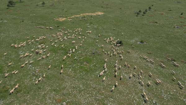 Aerial - High angle view of flock of sheep running across the meadow Royalty-free stock video