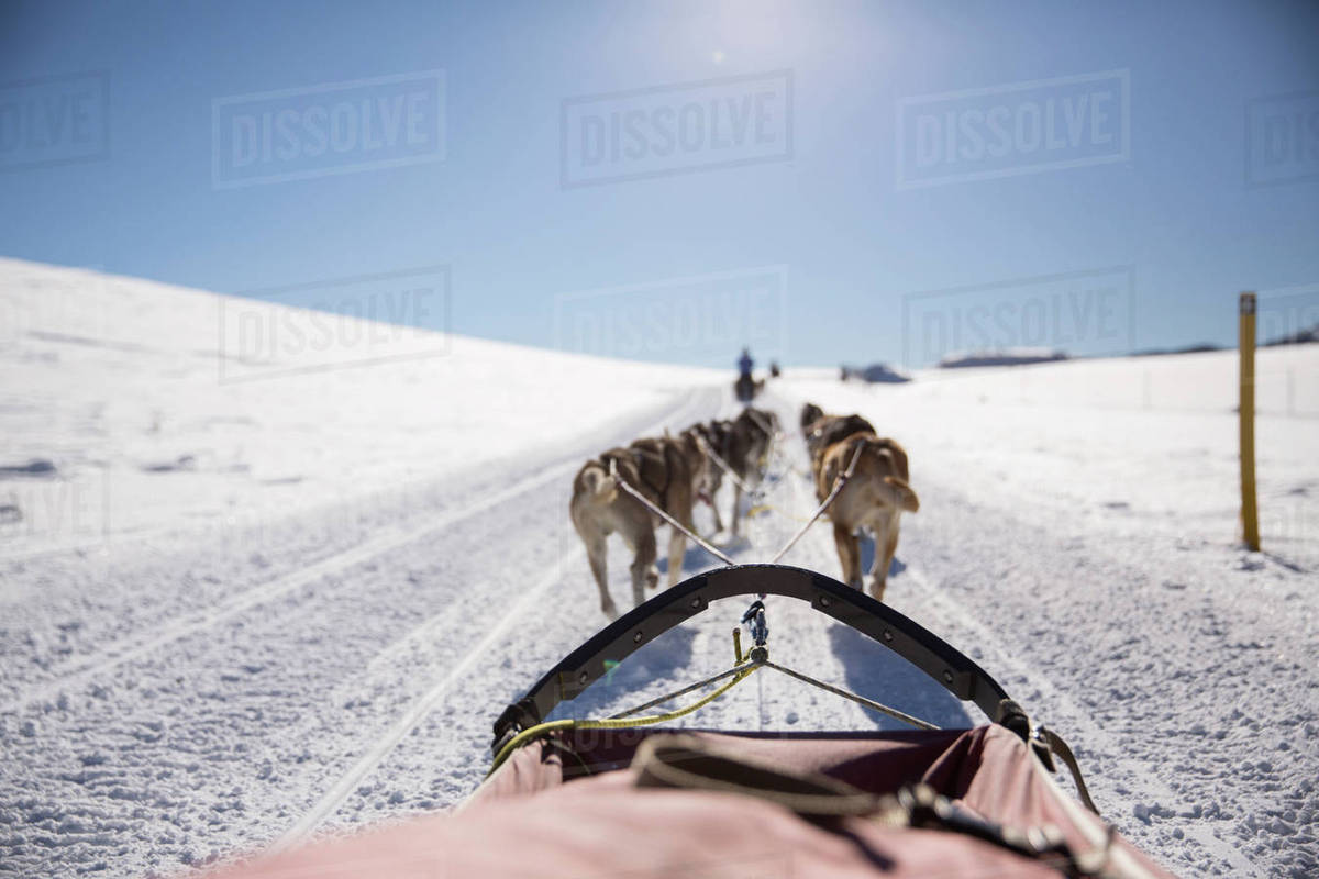 rear view of dogs pulling sleigh on snow covered field stock photo