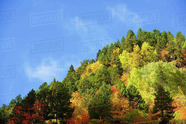 Low angle view of trees on mountain against blue sky during autumn Royalty-free stock photo