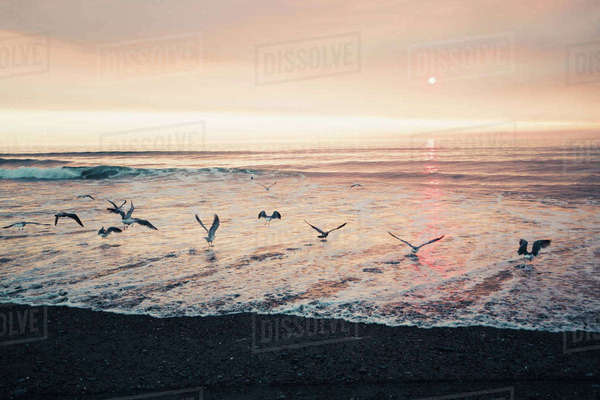 Seagulls flying over sea against sky at Redwood National Park during sunset Royalty-free stock photo