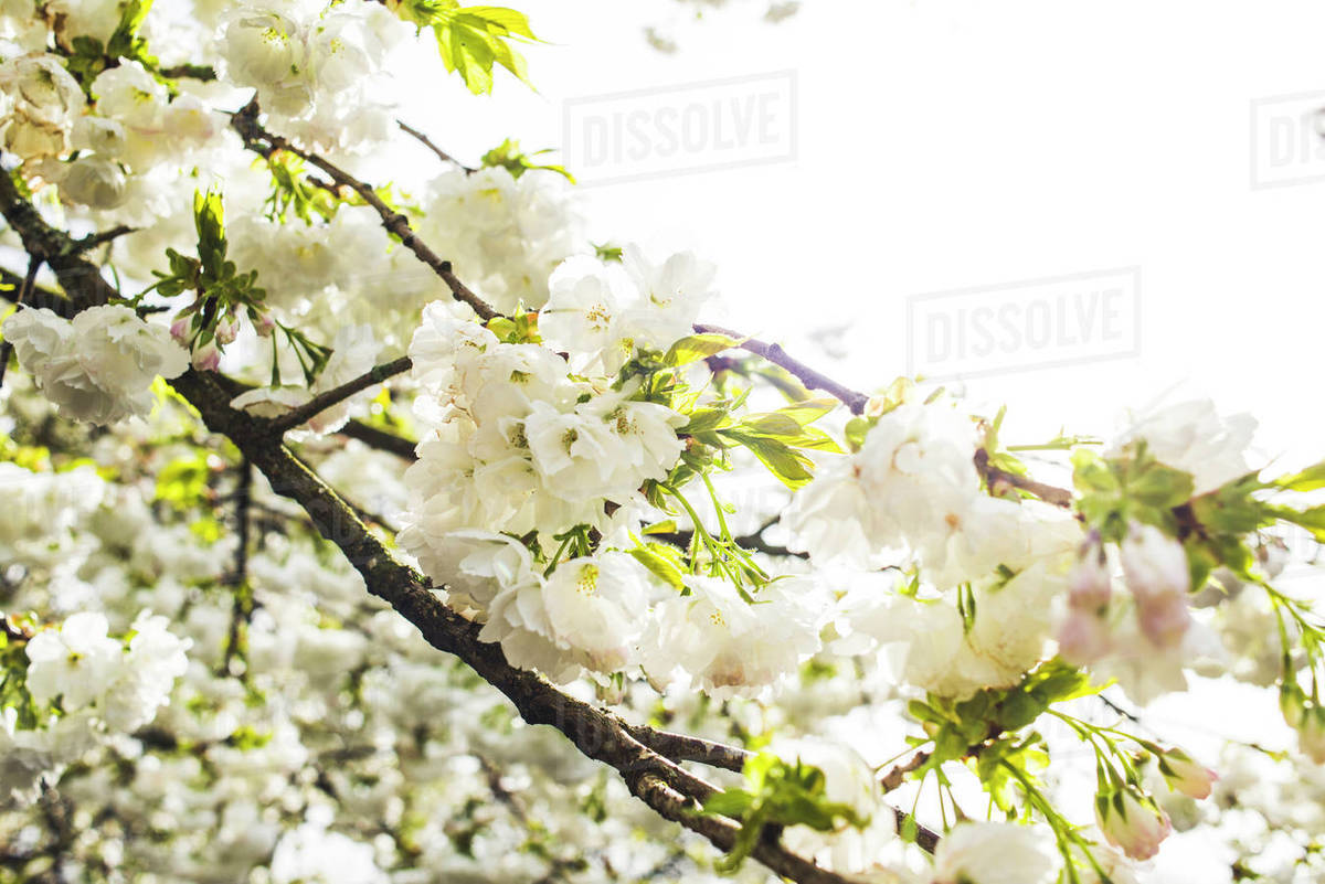 Low Angle View Of White Flowers Growing On Tree Against Sky Stock