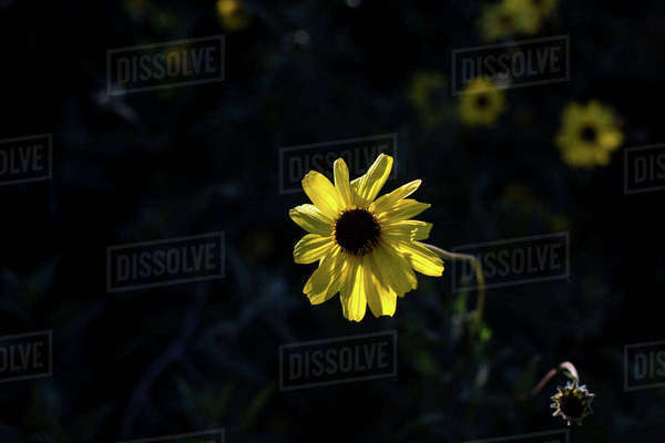 Close-up of yellow flower blooming in garden Royalty-free stock photo
