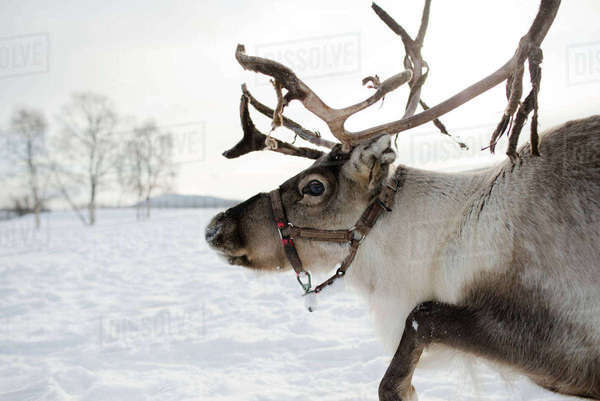 Side view of reindeer standing in snow Royalty-free stock photo