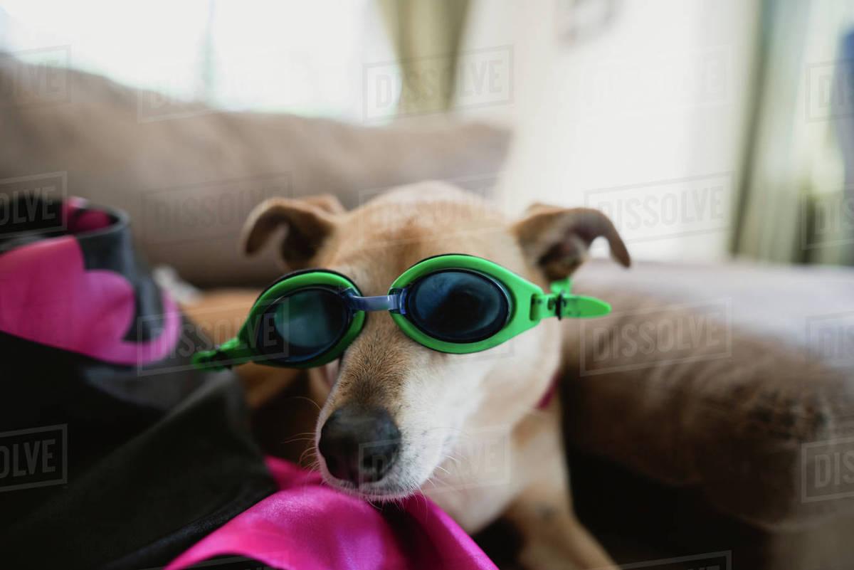 Dog Pool Goggles Goldenacresdogs Com