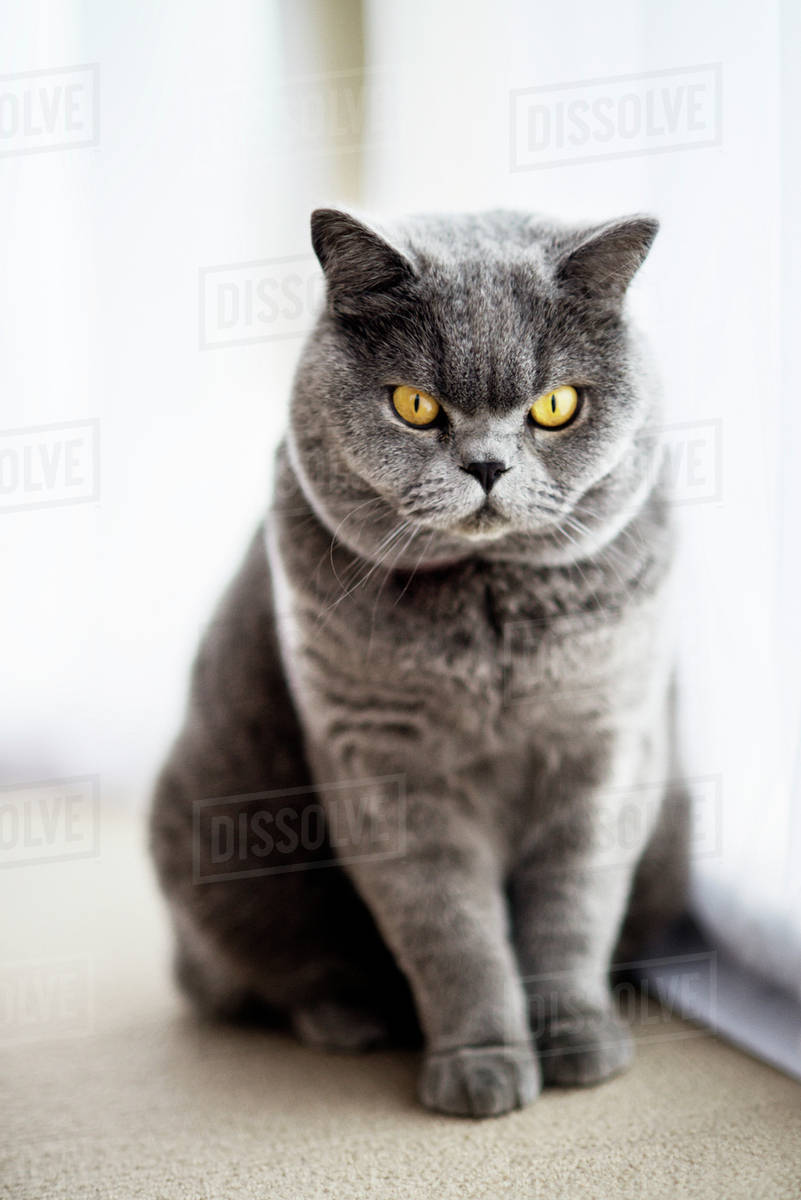 Portrait of purebred cat Royalty-free stock photo