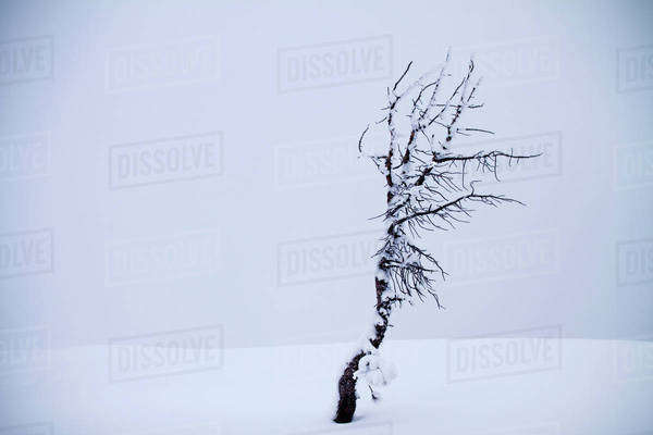 Frosted tree in snow Royalty-free stock photo