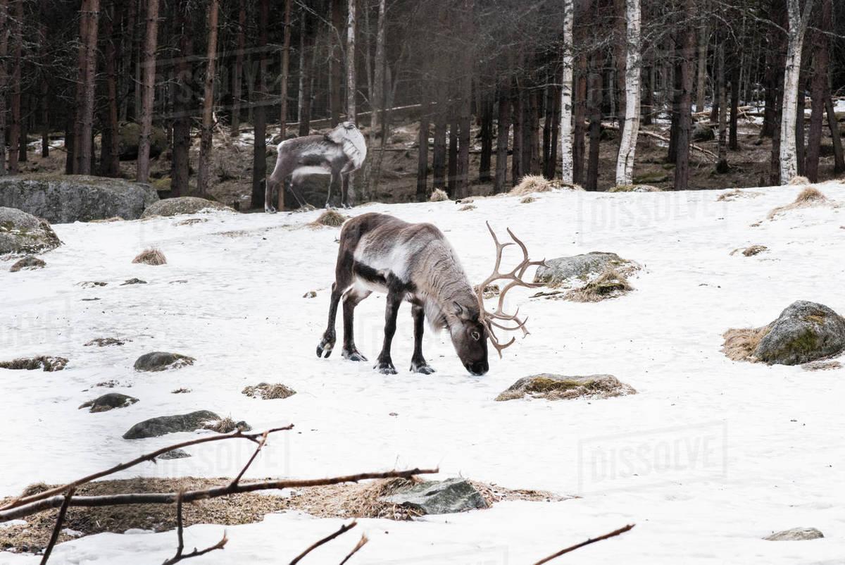Wild reindeer walking in the snow in winter in Sweden Royalty-free stock photo