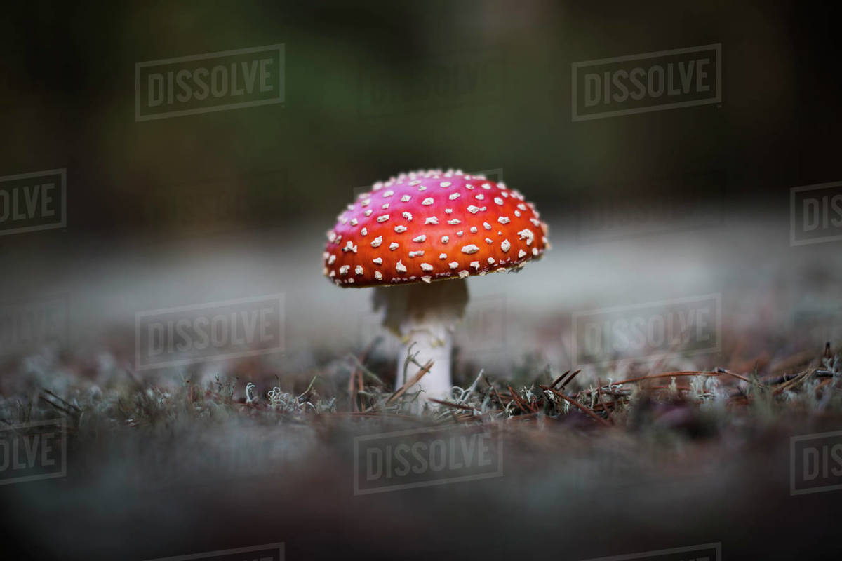 Young Fly Amanita in the woods near Groß Köris, Germany. Royalty-free stock photo