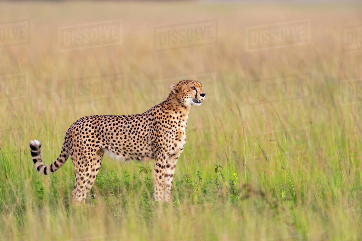 A motionless cheetah scans the horizon Royalty-free stock photo