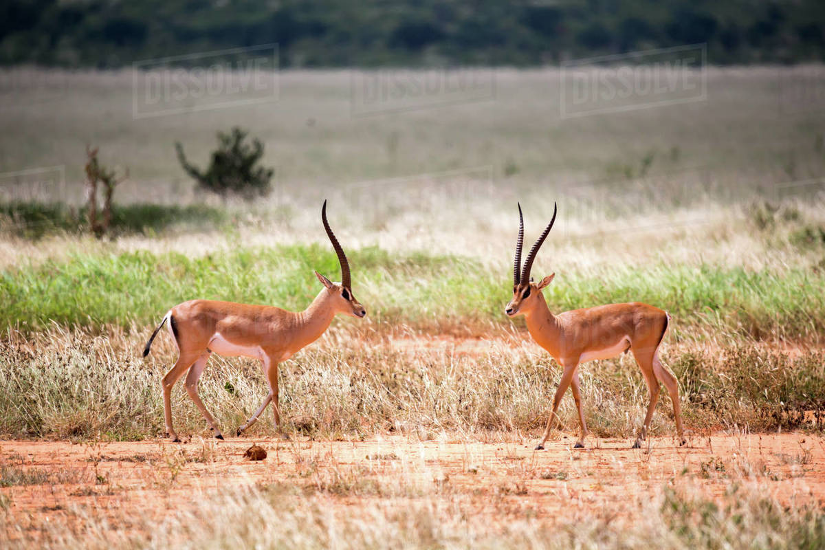 An antelope in the grassland of the savannah in Kenya Royalty-free stock photo