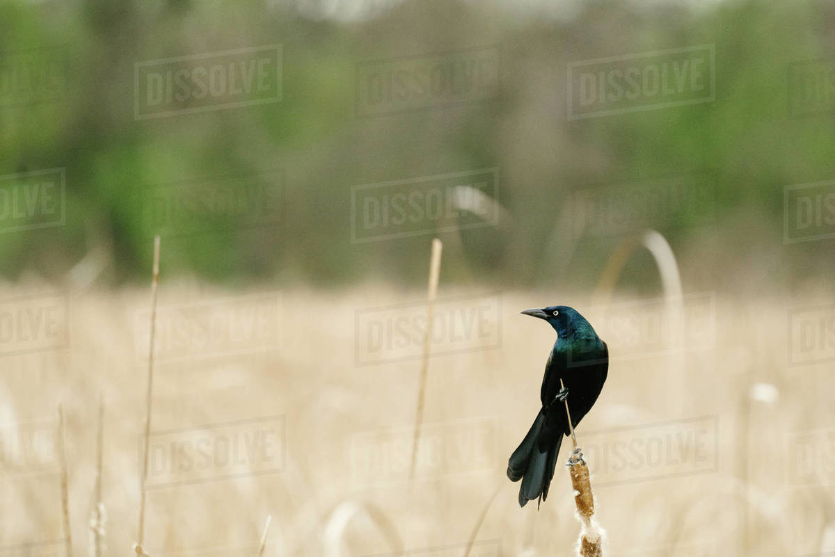 Side view of a common grackle perched on a cattail in a marsh Royalty-free stock photo