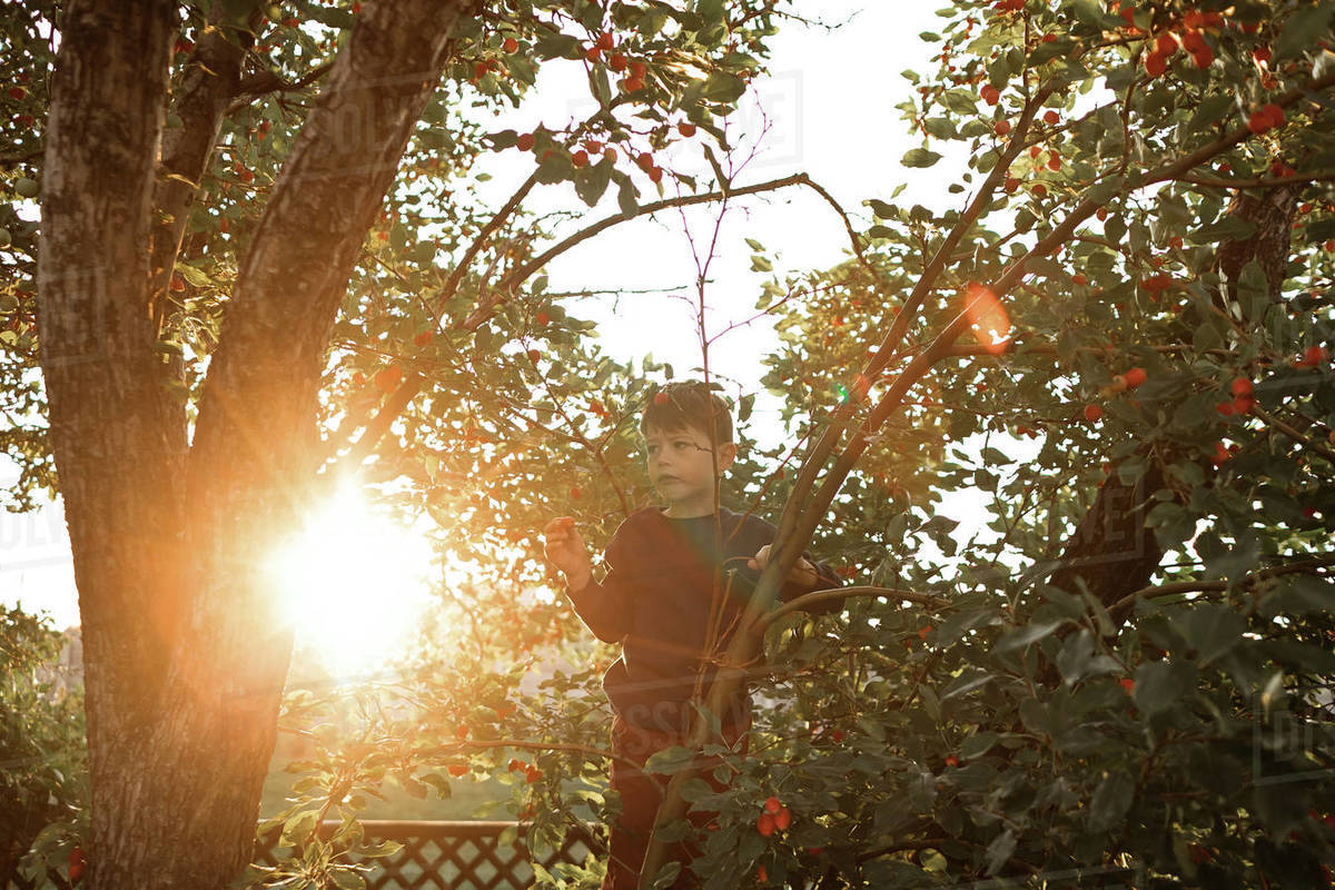 Young boy climbing cherry tree in backyard in the summer sun Royalty-free stock photo