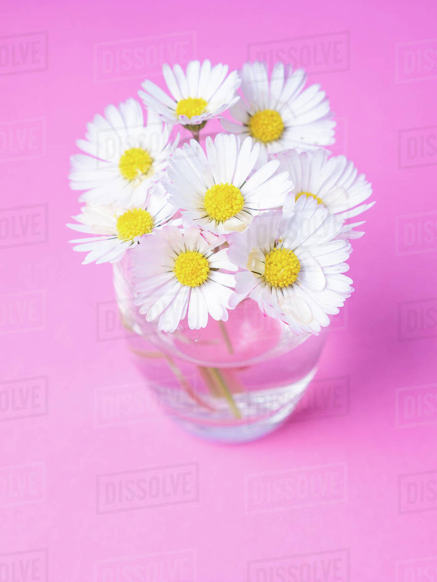 Close up of a bunch of daisies on a vase isolated on pink background Royalty-free stock photo