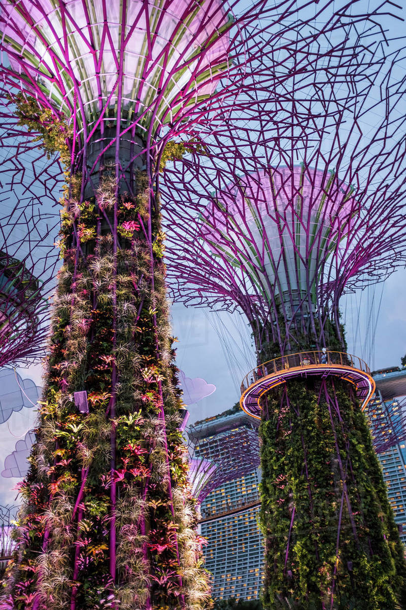 Solar-powered supertrees at dusk in Gardens By The Bay, Singapore. Royalty-free stock photo