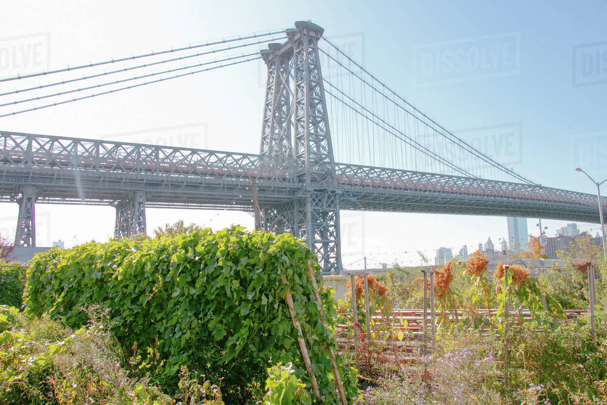 Views of the Manhattan Bridge from an overgrown garden in Brooklyn Royalty-free stock photo