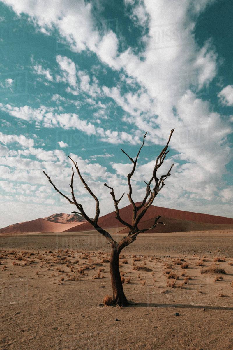 Skeleton trees in the Namibian desert in Africa Royalty-free stock photo