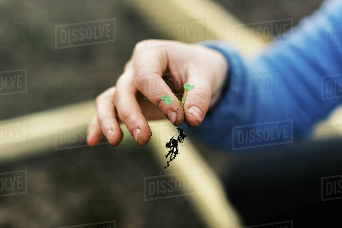 A broccoli seedling with root system held by dirty working hands. Royalty-free stock photo