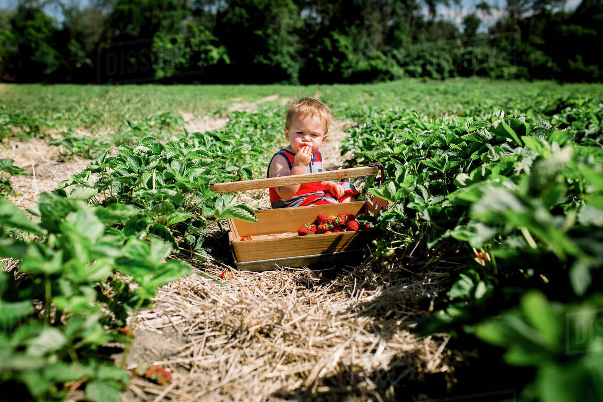 Toddler boy tasting a strawberry in a strawberry patch Royalty-free stock photo