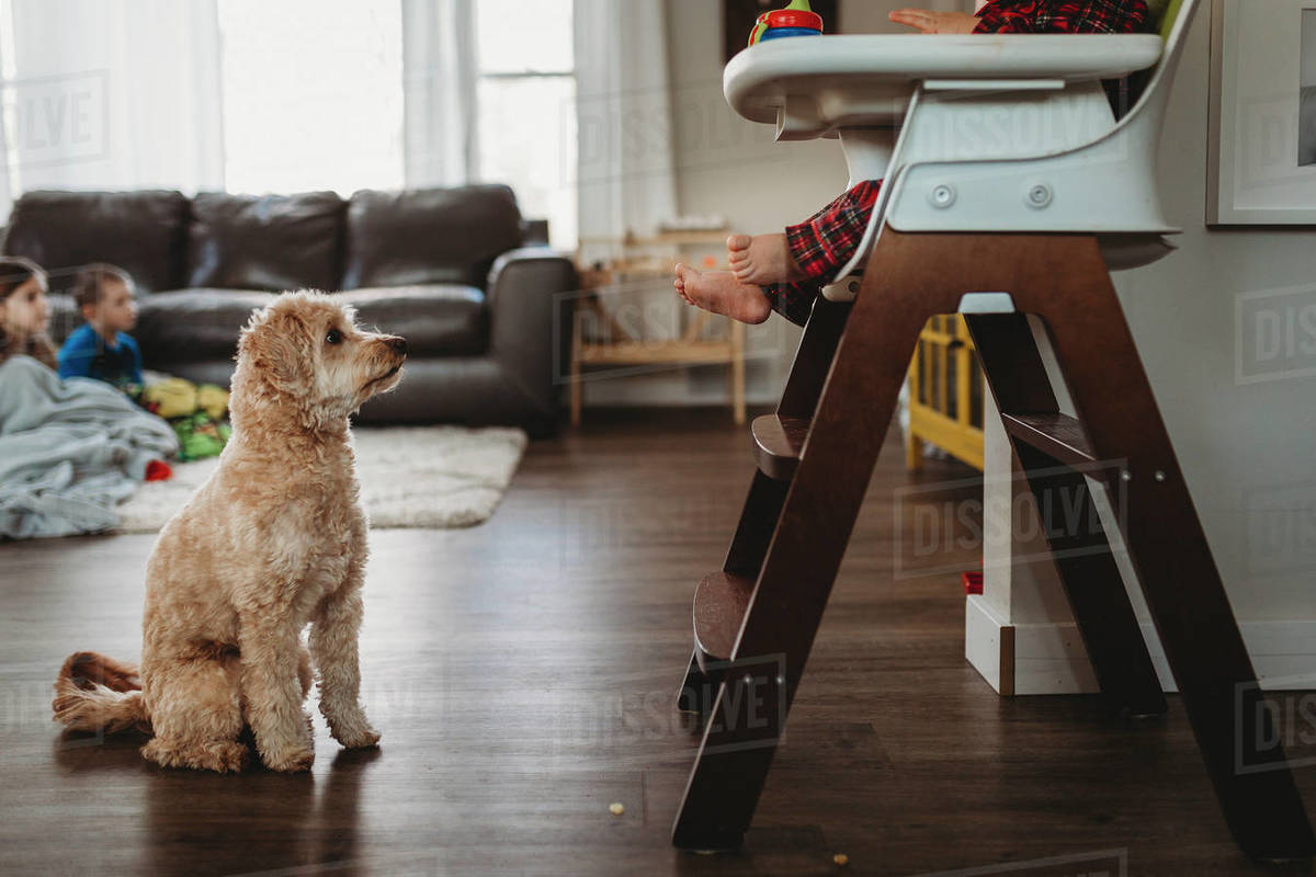 Pet dog begging for food below toddler sitting in highchair Royalty-free stock photo