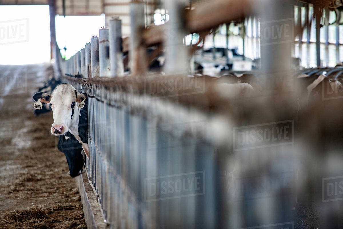 Cows in pens at dairy farm in Wisconsin Royalty-free stock photo