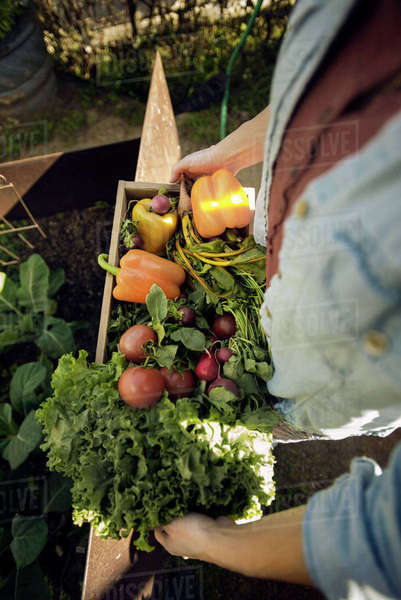 Overhead view of woman carrying freshly harvested vegetables in crate at organic farm Royalty-free stock photo