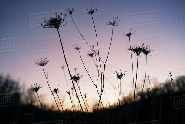 Silhouette of plants in field during sunset Royalty-free stock photo