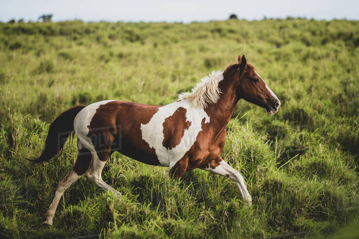 Brown and white spotted horse running through green grassy field Royalty-free stock photo