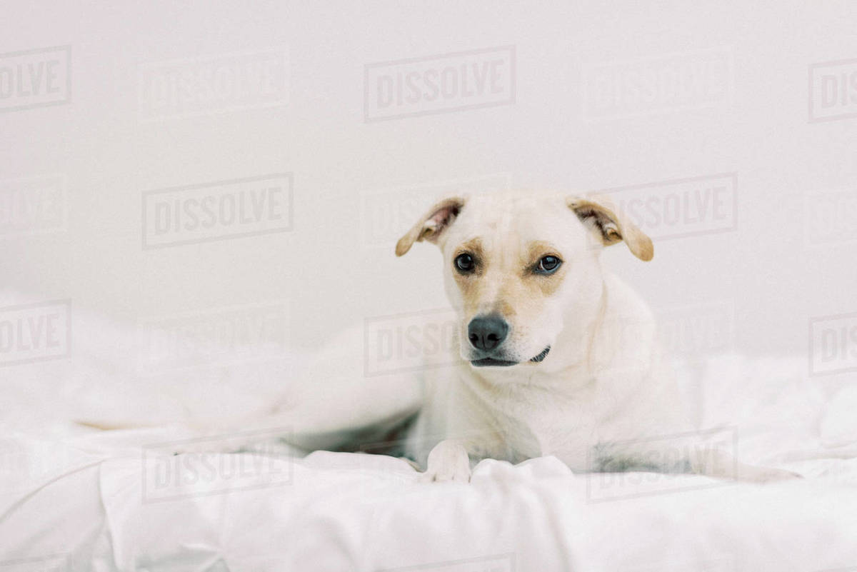 Little dog sitting on bed looking right into the camera Royalty-free stock photo