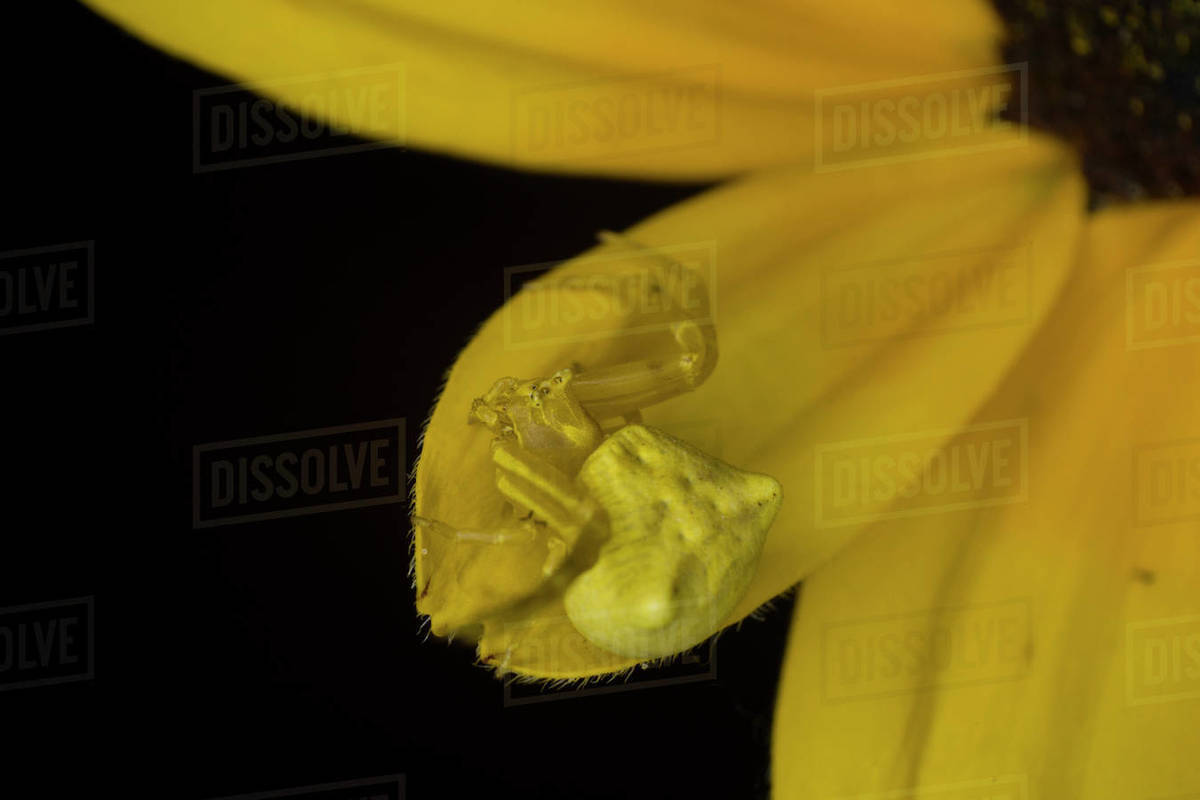 Crab spider on a yellow daisy flower aster, Extreme macro, nature Royalty-free stock photo