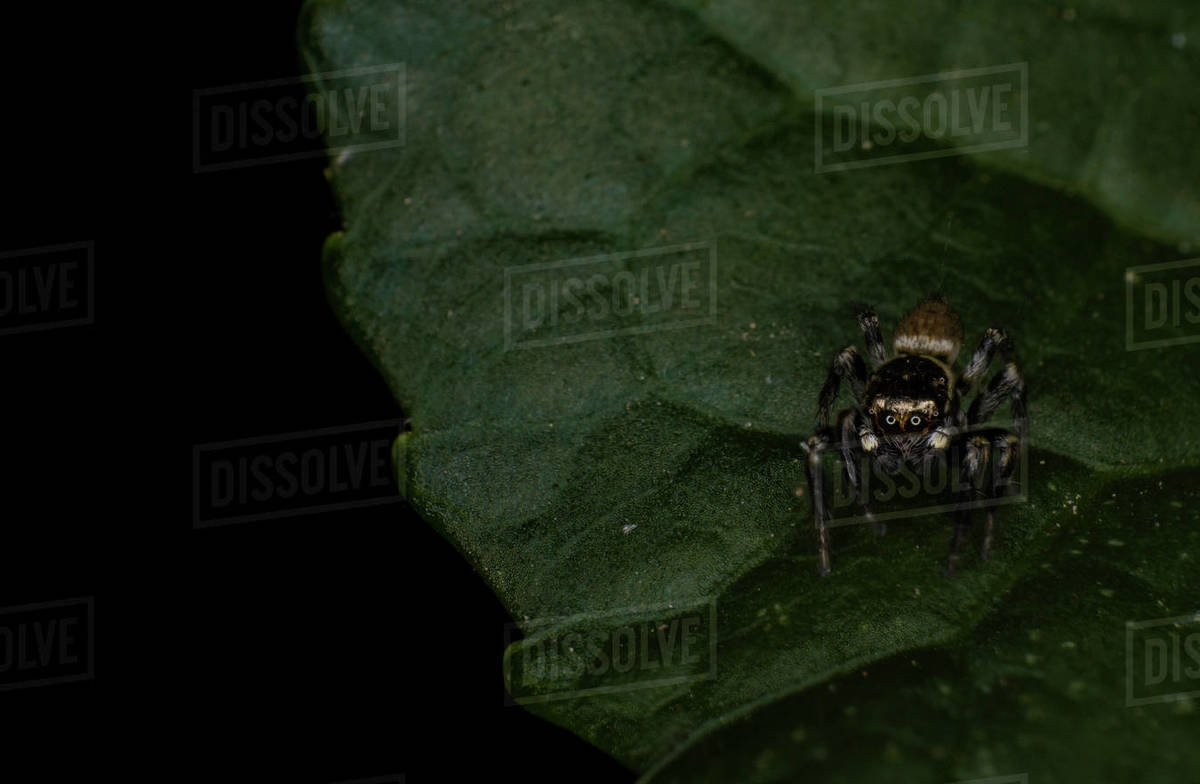 Jumping spider Salticidae on a leaf Pseudeuophrys lanigera Royalty-free stock photo