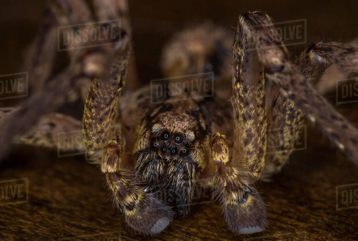 Extreme macro on a scary barn funnel weaver house spider close up Royalty-free stock photo