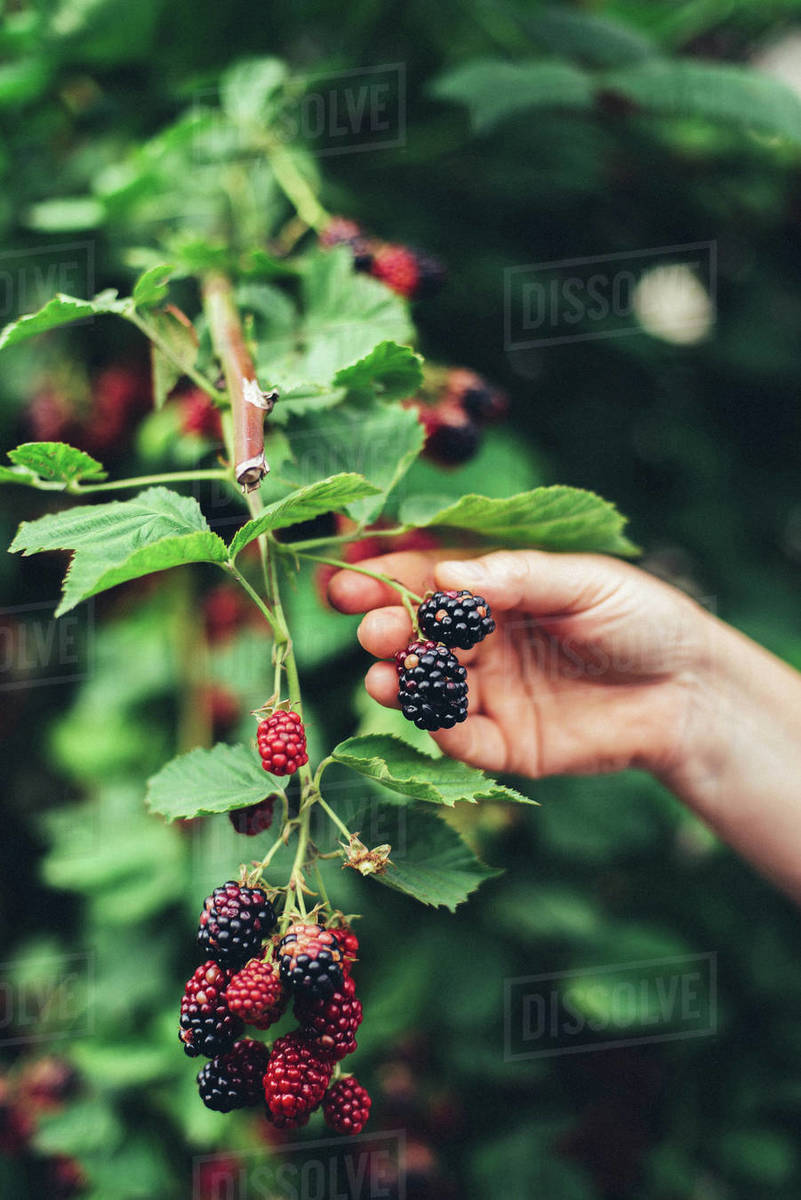 Woman harvesting blackberries from plants at farm Royalty-free stock photo
