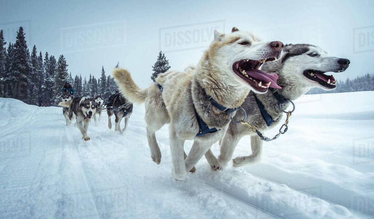 Wide-angle shot of sled-dogs running on snowy trail Royalty-free stock photo