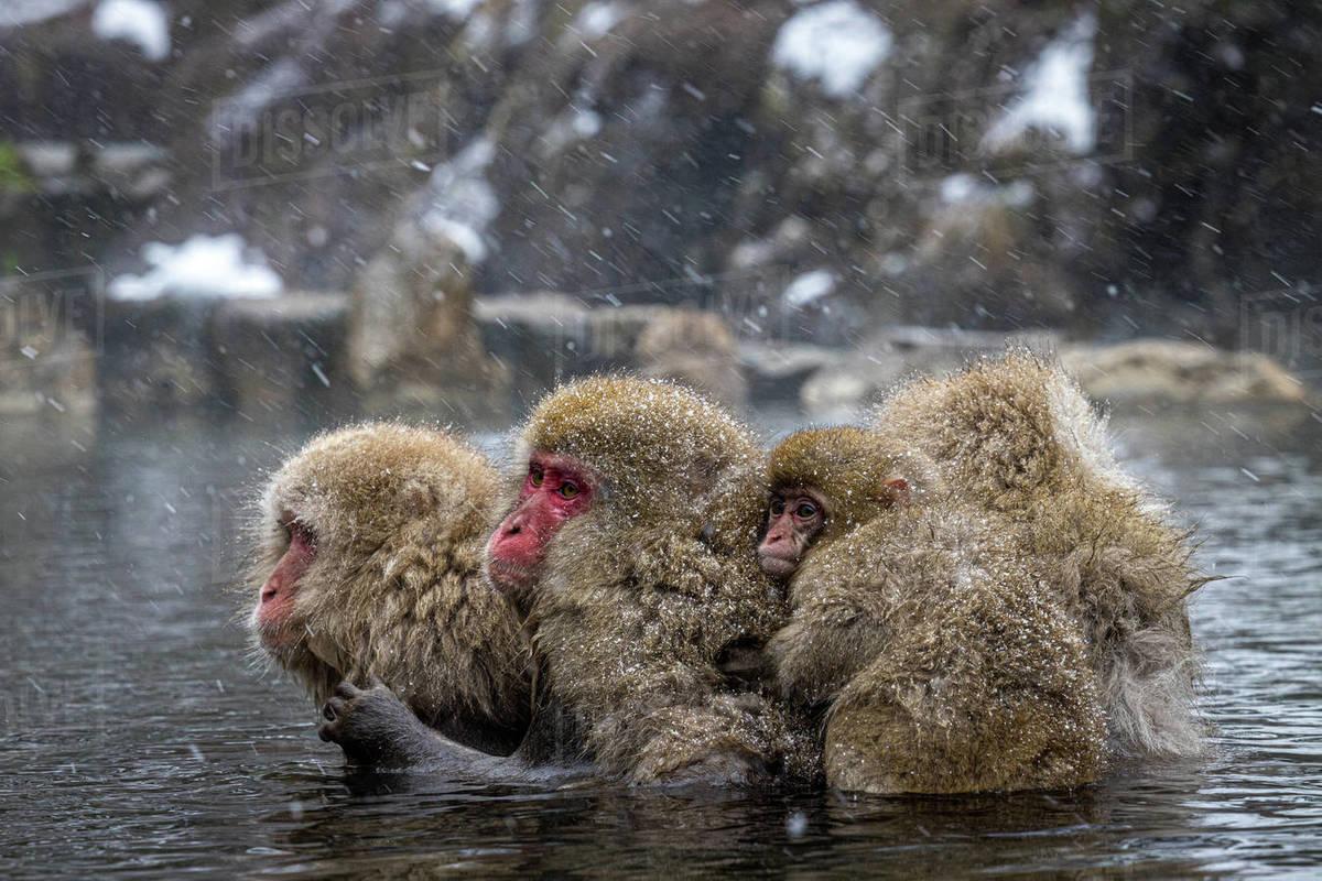 Family of winter monkeys in lake Royalty-free stock photo